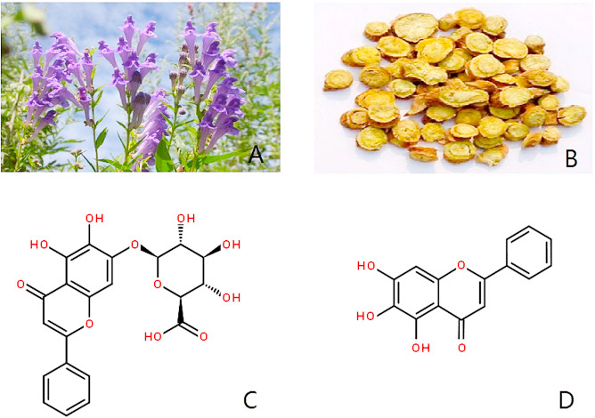 Exploring the chemopreventive properties and perspectives of baicalin and its aglycone baicalein